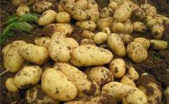 全自动样品研磨仪对马铃薯研磨提取研究